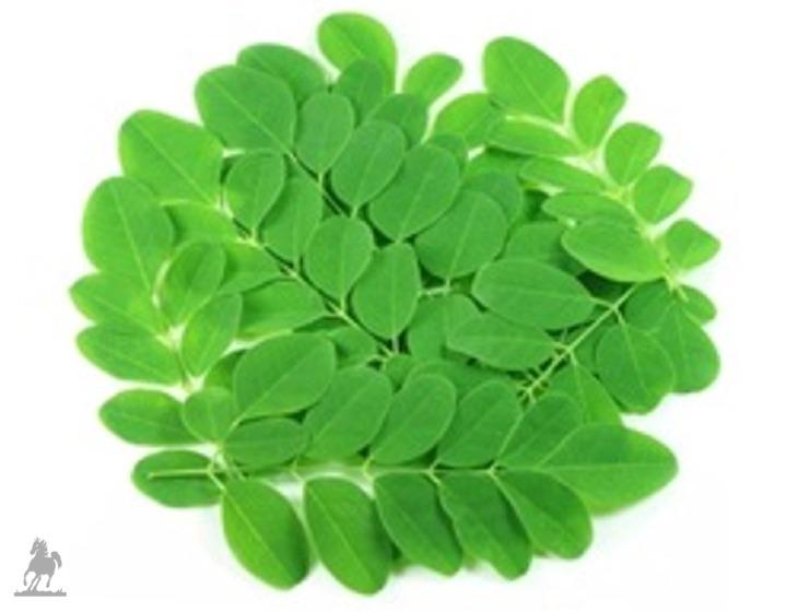 Moringa-Blätter frisch
